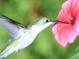 hummingbird at Lenoir